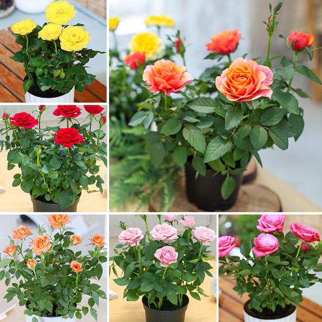 100 pcs/bag Rainbow Rose Flower Planting Mini Bonsai Rare Flower Plants Balcony Yard Potted DIY home garden Decoration