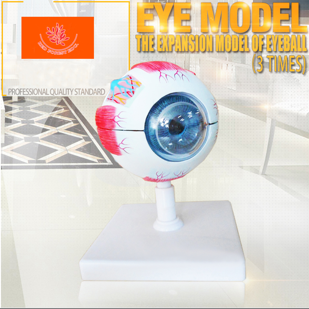 Anatomy factory price quality biological Anatomical human eyeball model structure of the eyeball enlarged model eyeball structure model anatomical eye model