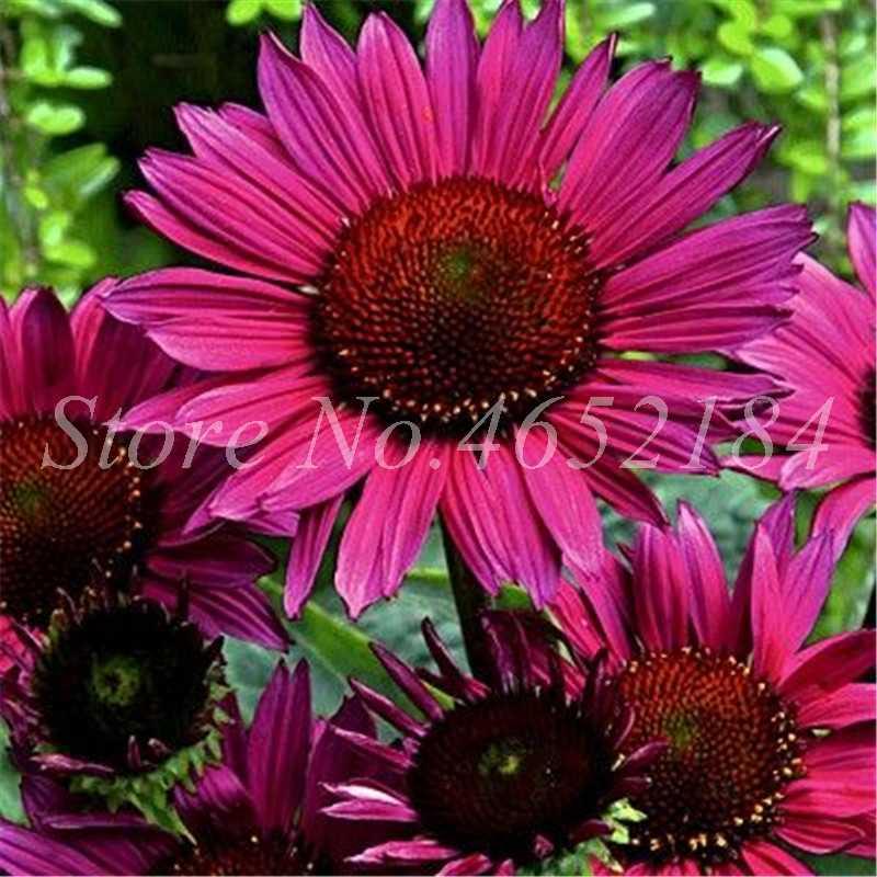 100 adet/torba Bonsai Ekinezya Purpurea Karışık Renkli Nadir Çiçek Çok Yıllık Krizantem Saksı Flore Bitkiler Diy Ev ve Bahçe Için