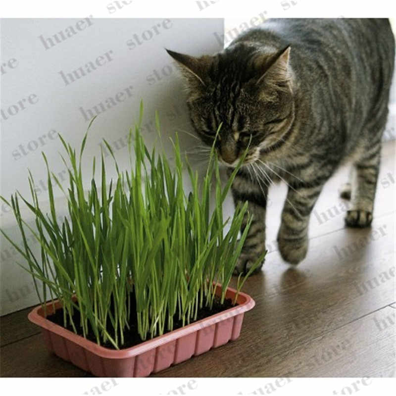 50 Pcs Cat Grass Plant Herb Edible Lemongrass Kitchen Vegetable Bonsai Medicinal Use graines legumes potager DIY Home garden