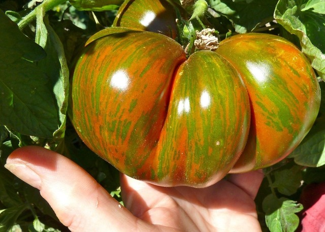 100 piece Vegetable Tomato BERKLEY TIE DYE Heirloom Seeds
