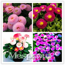 Promotion!African Blue Eyed Daisy Bonsai Osteospermum Bonsai Cape Mix Flower Heirloom 50PCS Family Potted Plants DIY Home Garden(China)