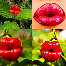 100 pcs/bag Red Hot lips flower Seeds Rare Pots Garden Park Yard leo blooming plants Psychotria Elata Seeds for home garden