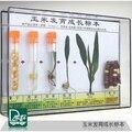 Образец роста кукурузы  процесс роста кукурузы  научно-исследовательские инструменты  детские подарки