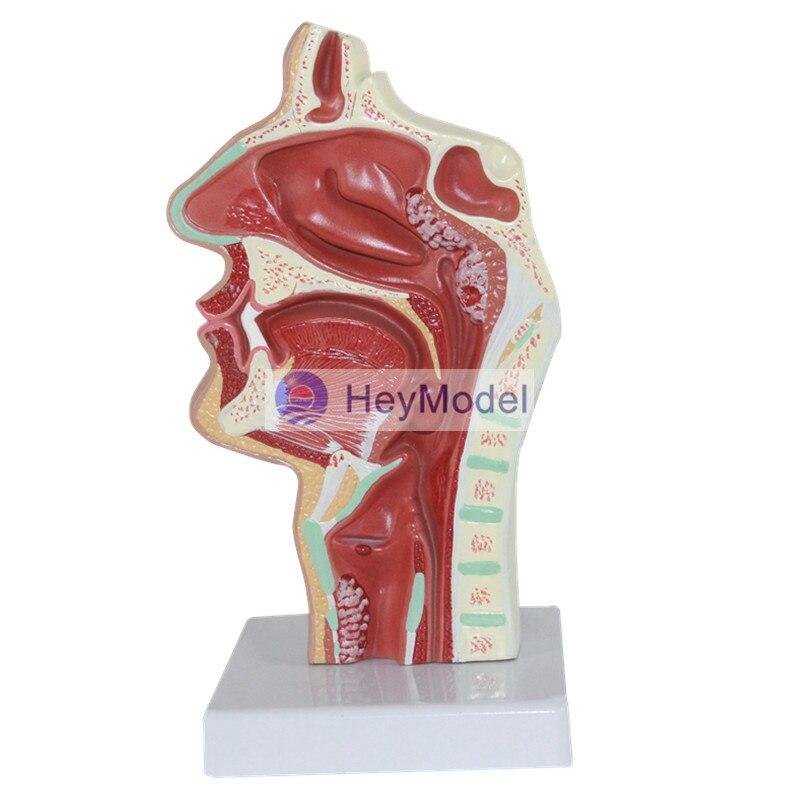 HeyModel Nasal lesions rajat sareen shiv kumar sareen and ruchika jaswal non carious cervical lesions