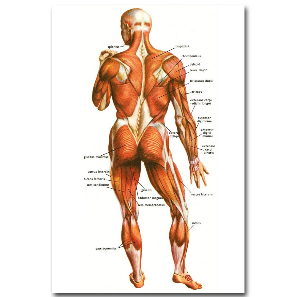 Human Anatomy Muscles System Art Silk Cloth Poster Print 24x36 inch ...