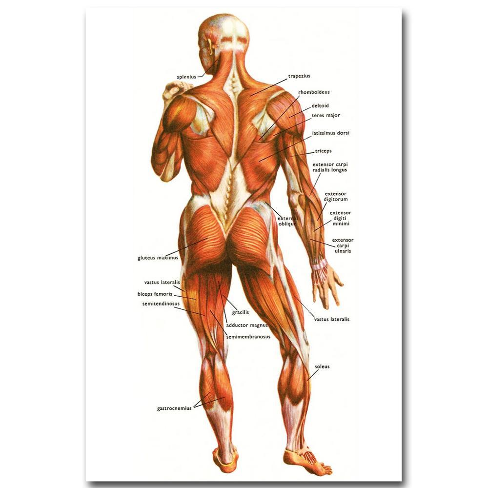 Menschlichen Anatomie Muskeln System Art Silk Tuch Plakat druck ...