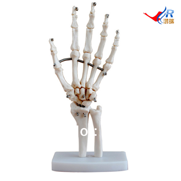 ISO Life-Size Hand Joint Model, Anatomical Hand Model life size hand joint with ligaments the palm of your hand with ligament model