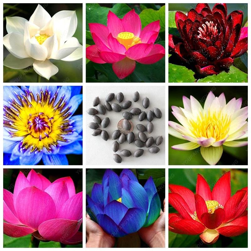 10 pcs Aquatic plants flower seeds bowl lotus Water Lilies lotus seeds 100% genuine rainbow seeds for home garden planting
