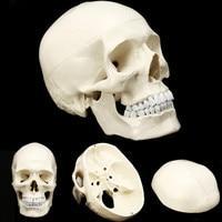 Life Size Human Anatomical Anatomy Resin Head Skeleton Skull Teaching Model School Supplies