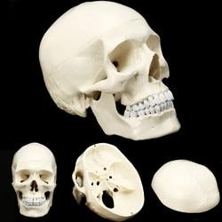 Modello del cranio del Modello Anatomico Umano Medicina Cranio Umano Anatomia Anatomico Testa Studiare Anatomia Insegnamento Forniture