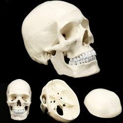 Skull Model of Human Anatomical Model Medicine Skull Human Anatomical Anatomy Head Studying Anatomy Teaching Supplies