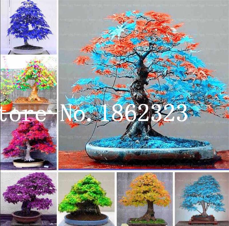 מכירה לוהטת! 30 pcs מייפל עץ Bonsa, בונסאי כחול מייפל עץ יפני מייפל Bonsa, צמחים לבית גינה ומרפסת, קל לגדול