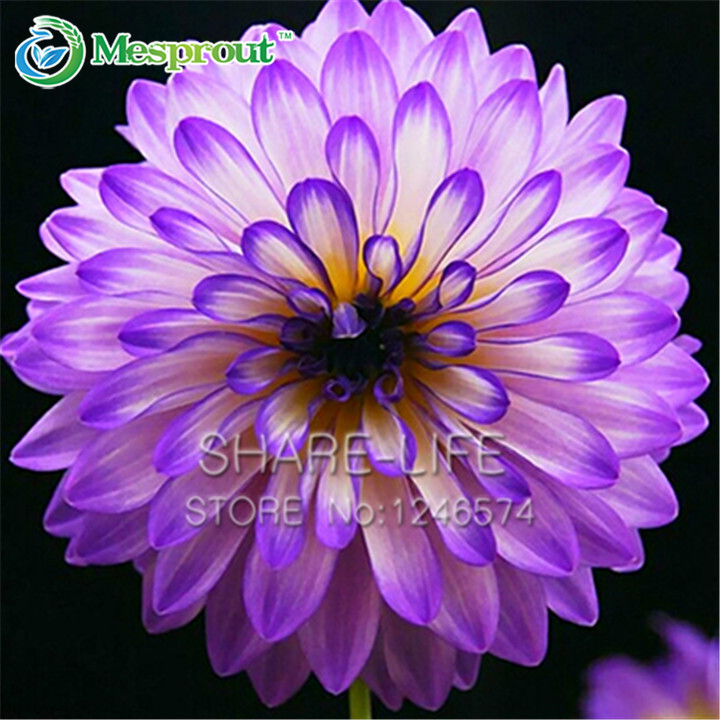 achetez en gros violet dahlia en ligne à des grossistes violet
