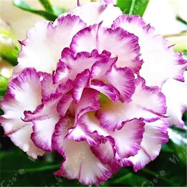 True 100% white and purple combination of Desert Rose balcony petals flower Potted Garden Flowers Bonsai Plants Adenium Obesum 1