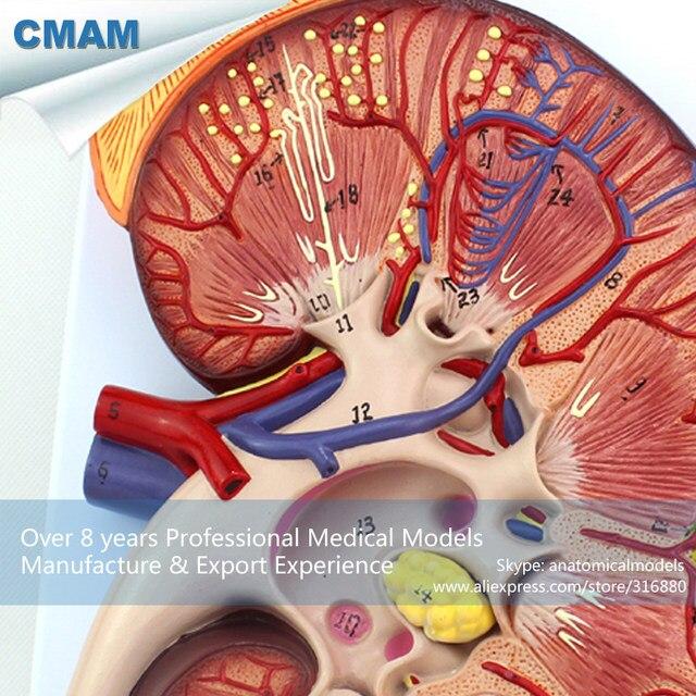 Tienda Online 12431 Oversize CMAM-KIDNEY02 Riñón Humano Anatomía ...