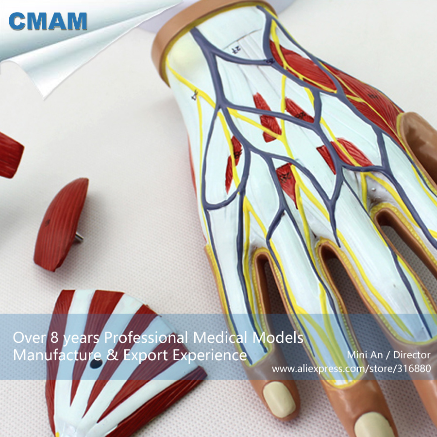 CMAM-MUSCLE08 Life Size Muscles of Human Hand - 4 Parts,  Medical Science Educational Teaching Anatomical Models cmam urology04 life size human anatomical skeleton female urogenital medical science educational teaching anatomical models