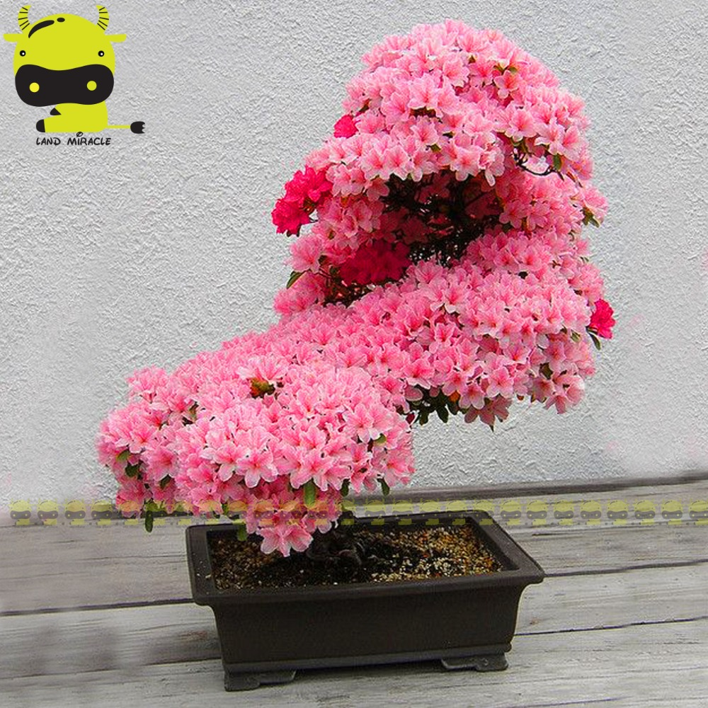 Christmas tree novelty christmas tree china http www gd wholesale com - 8 Types Japanese Sakura Cherry Blossom Tree Bonsai Seed For Your Chioce 5