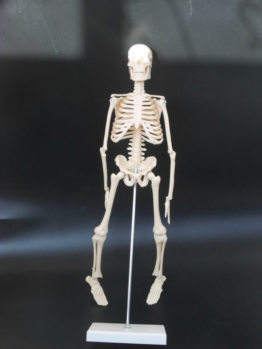 45cm (17ink) Mini Anatomical Skeleton Human Model Stand Poster Medical Learn Aid Anatomy plastic standing human skeleton life size for horror hunted house halloween decoration