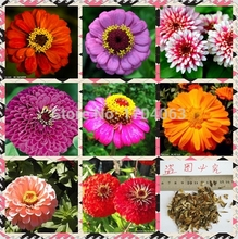 100 Pcs Rose Red Zinnia bonsai Balcony Courtyard Potted Bonsai Elegans potted Plant Flower