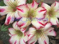 100 Genuine Earth Quake Adenium Obesum Seeds 100 SEEDS Bonsai Desert Rose Flower Plant Seeds