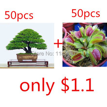 bonsai seeds 50pieces japanese pine tree  50 flytrap seeds for gift  rare bonsai tree seeds for home garden planting