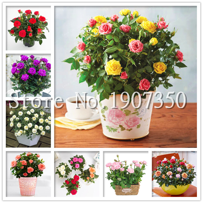 100 Pcs/Bag Mini Rose Bonsai Miniature Rose Plant DIY Home Garden Bright And Beautiful Potted Flowers Plant Balcony Bonsai Plant