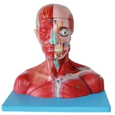 Cabeza y Cuello neurovascular adjunta cerebro modelo cabeza y cara ...