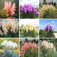 pampas grass seeds new  rare purple for flower pot planters 1000pcs