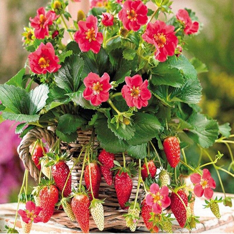 Macetas de fresa compra lotes baratos de macetas de - Semillas de frutas y verduras ...