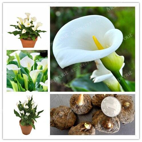 True White Calla Lily Bulbs,Calla Flower,(Not Calla L Z