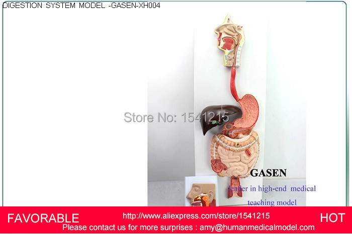 MEDICAL HUMAN DIGESTIVE SYSTEM MODEL OF THE DIGESTIVE TRACT DIGESTIVE GLAND OF NINE BODY DIGESTIVE SYSTEM GASEN-XH004