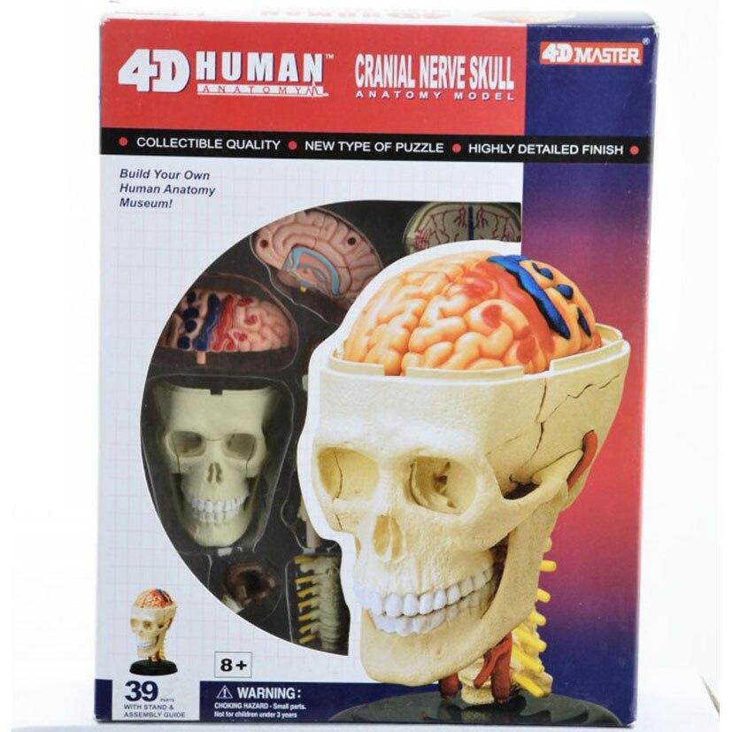 4D maestro nervio craneal humano modelo anatómico del cráneo del ...
