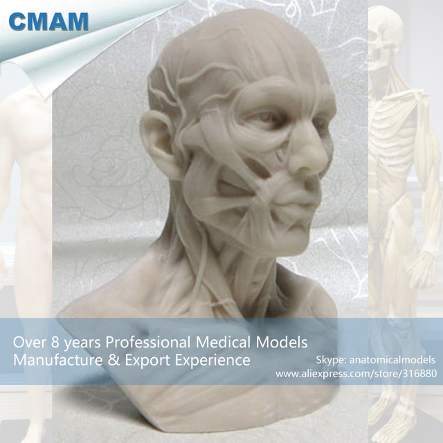 CMAM PRC08 Fashion Arts Human Anatomy Skull Muscle 10cm Tofo Replica ...