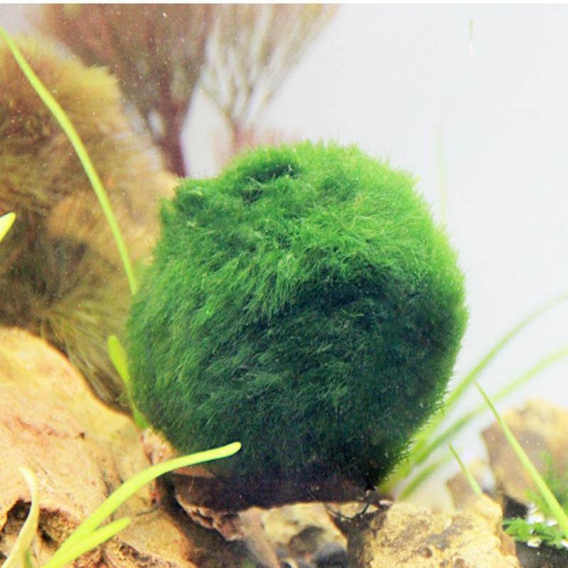 Aquarium Moss Fish Aquarium Alive Live Fishes Plants Aquaristics Shrimp Aquarium Moss Ball Water Grass Shrimp Water Grass Balls Decorations Aliexpress