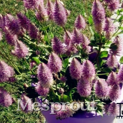100pcs hot salerare australia foxtail seeds diy home garden rare australia foxtail seeds diy home garden decoration flower seeds perennial in cold hardy zone flower seeds in bonsai from home garden on mightylinksfo