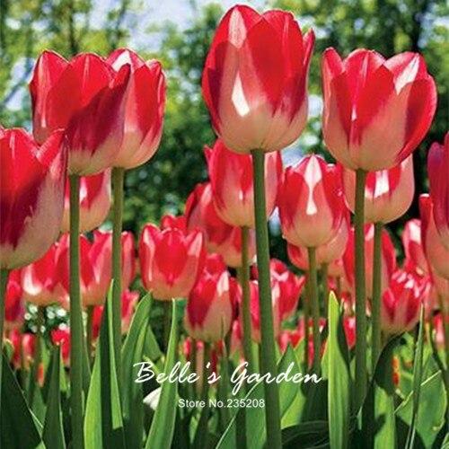 5pcs Rare Red Yellow Tulip Bulbs Bonsai Tulip Flower Tulipa