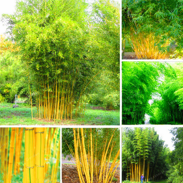 50 pcs Bambou Bonsaï Phyllostachys Aureosulcata Maison Jardin Bonsaï ...