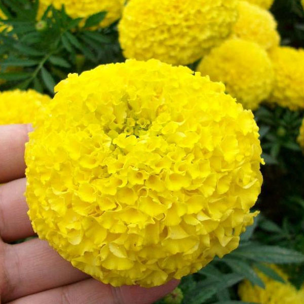 Potted flower seeds tagetes erecta yellow aztec marigold potted flower seeds tagetes erecta yellow aztec marigold chrysanthemum seeds cellularabout 50 particles mightylinksfo