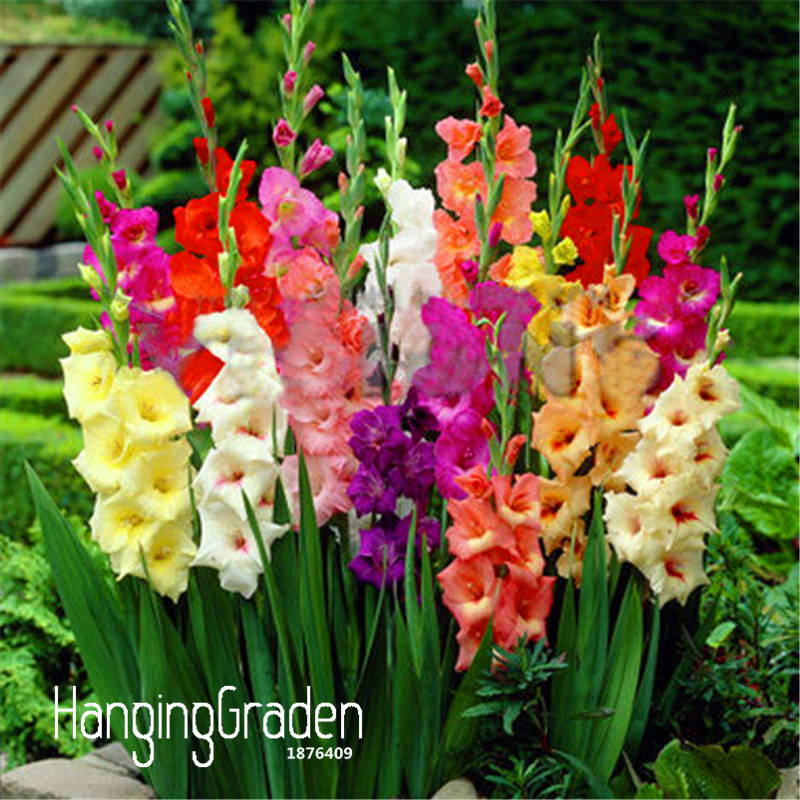 Big Promotion!Cut Gladiolus Seeds Flower Seeds Perennial Potted Plants Indoor Aerobic Gladiolus Flowers, 100 Seeds/lot,#A0UXYQ