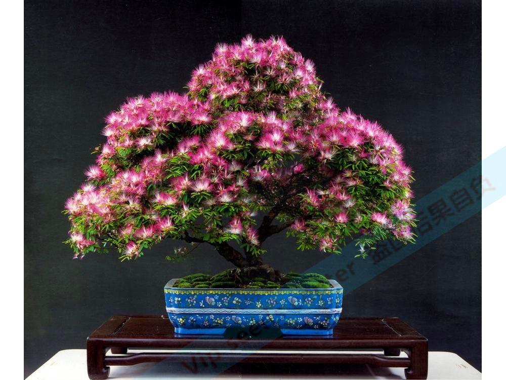 10pcs albizia decorate the room, clean air quality cultivation, planting method is very simple, easy to survive free shipping