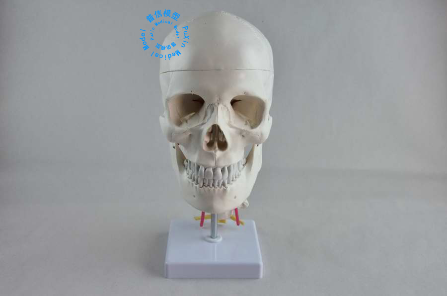 DongYun brand Adult human skull model skeleton model with cervical Spinal Nerve Medical Science teaching supplies plastic standing human skeleton life size for horror hunted house halloween decoration