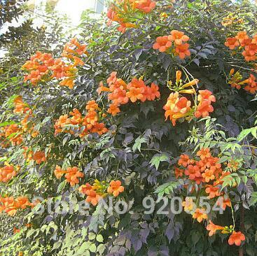 Zlking 100pcs Campsis Trumpet Vine Trumpet Creeper Flower Bonsai Plant Diy Home Garden Buy Now Home & Garden