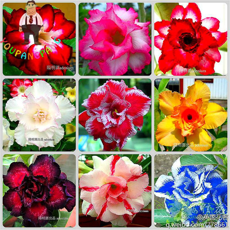 2 Particles / Bag Desert Rose Seeds Of Flowers Adenium Obesum Seeds 2017 Garden Ornamental Plants Balcony Potted Flowers Seed ...