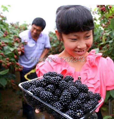 100 SEEDS - 100% Genuine Wild Black Raspberry Seeds (R1004) - bonsai fruit flower plant  ...