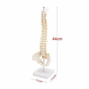 Image 4 - 45 cm Con Người Cột Sống với Vùng Chậu Mô Hình Con Người Giải Phẫu Học Giải Phẫu Cột Sống Y Tế Mô Hình cột sống cột mô hình + Đứng Fexible