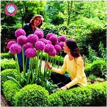 Новое поступление! экзотические семена лука гигантские allium Семена Разноцветные цветы в горшках (белый фиолетовый зеленый) 30 семян/пакет для дома и сада