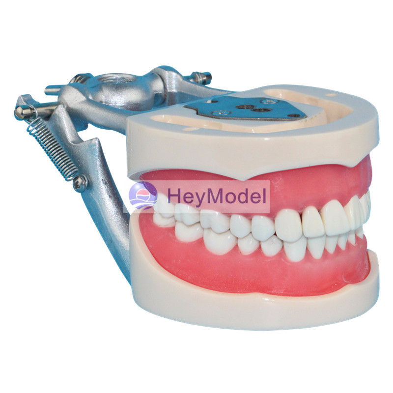 HeyModel Adult Teeth Model HeyModel Adult Teeth Model