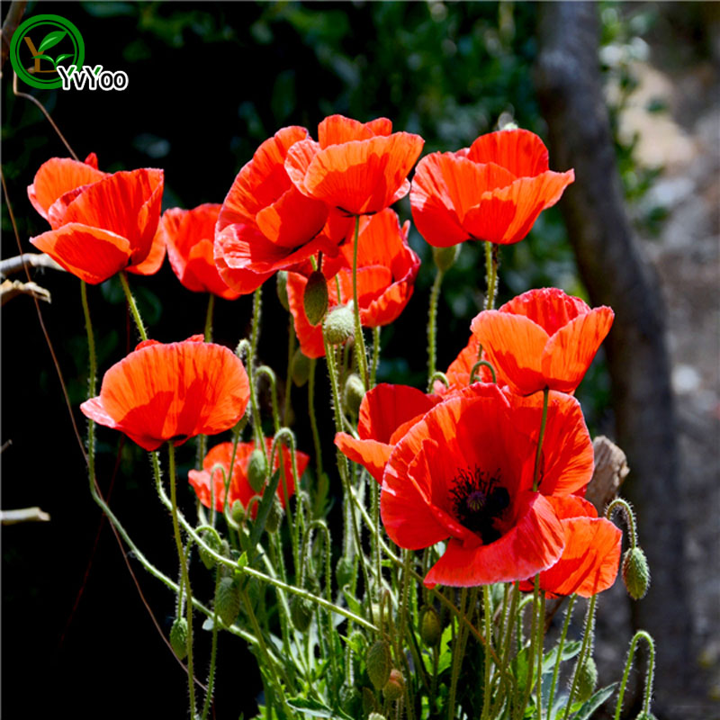 Beautiful Red Corn poppy seeds Promotion Balcony Bonsai