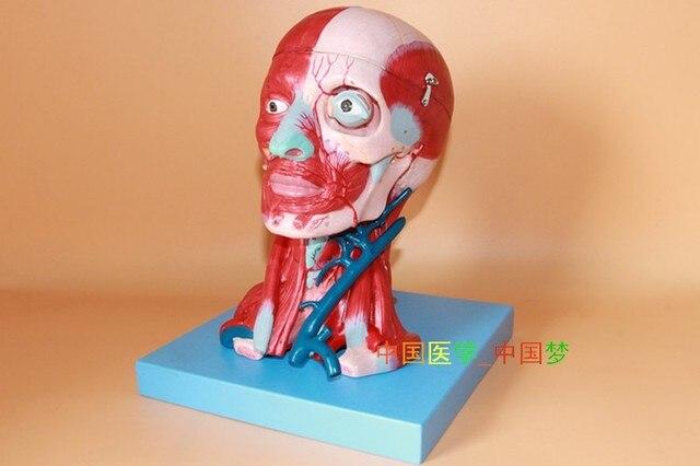 Kopf und hals muskeln gehirn blutgefäße angeschlossenem modell ...